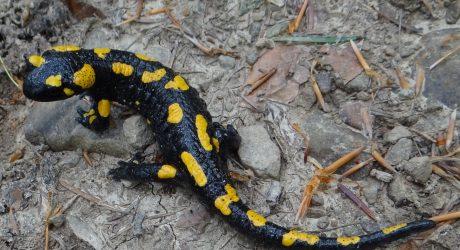 Salamandra_salamandra_BM3